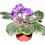Somalia Plant